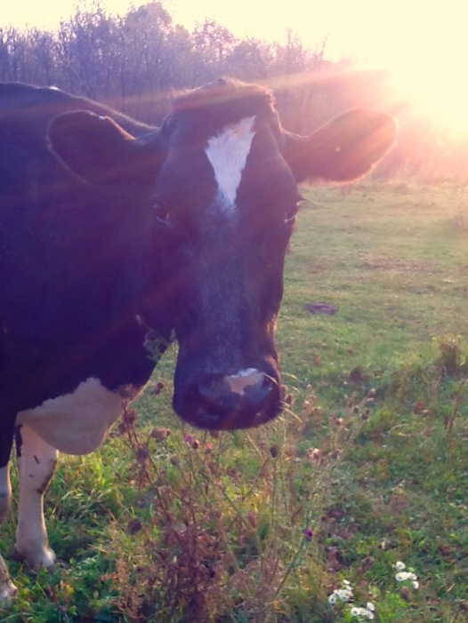 Mert...our dairy cow