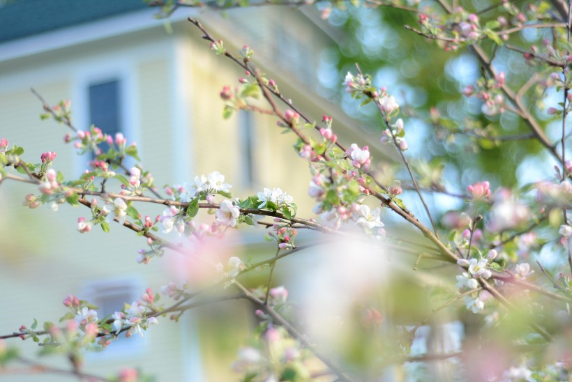 Apple blossoms yellow house.JPG