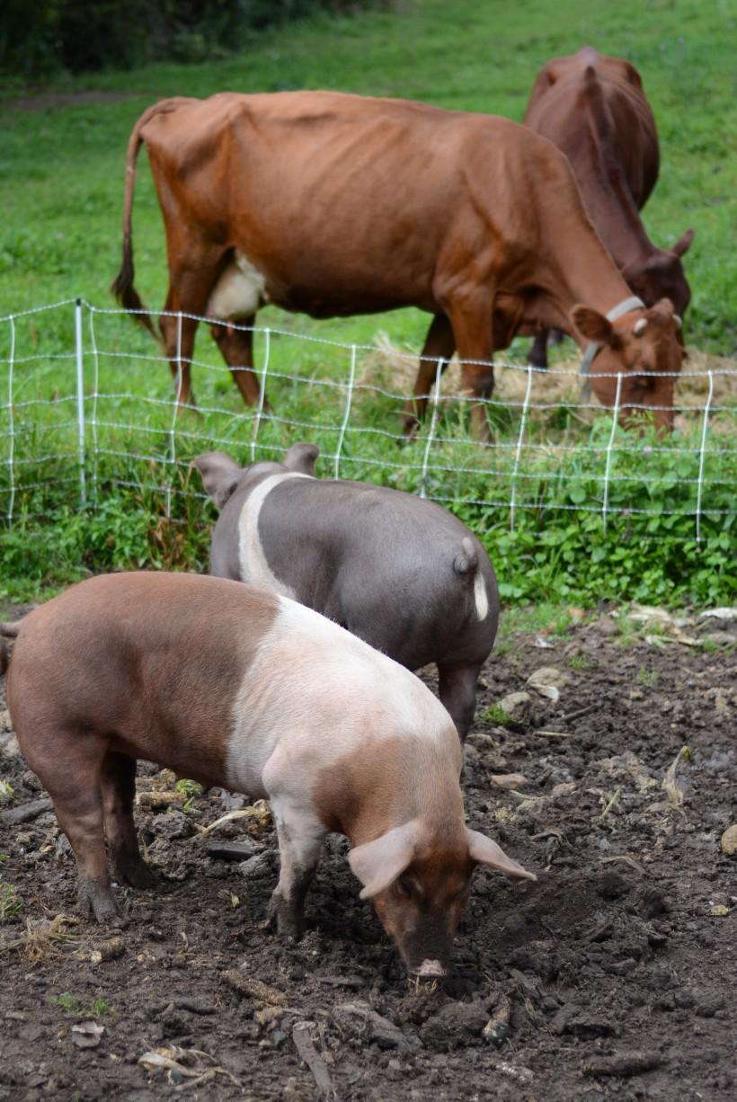 hogs n cows