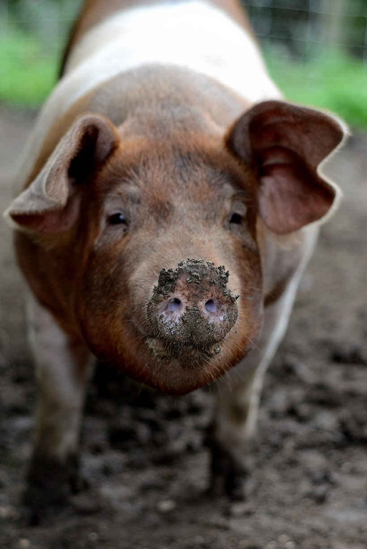 muddy piggy